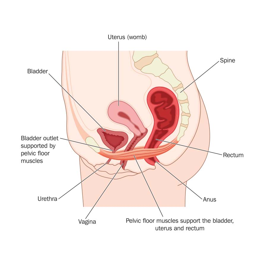 Diagram showing the pelvic floor and internal organs