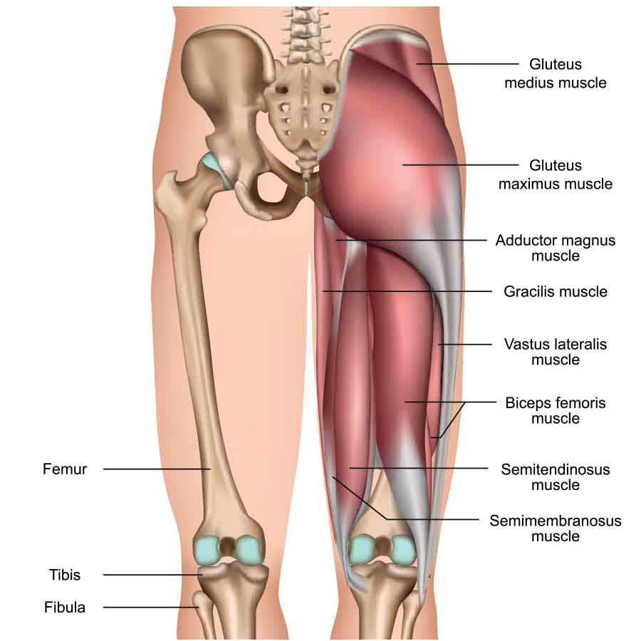 A detailed diagram of the hamstrings including labels for each muscle and bone